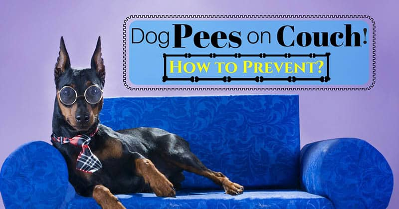 Dog-pees-on-couch-11