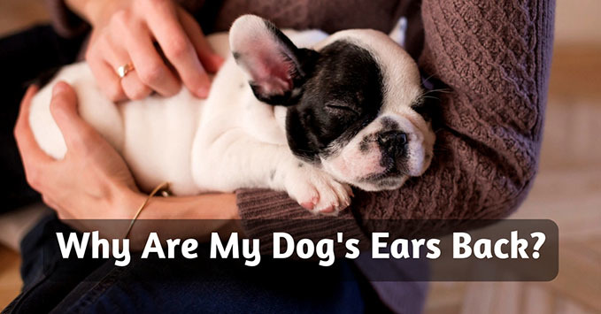 Why-Are-My-Dogs-Ears-Back-feature