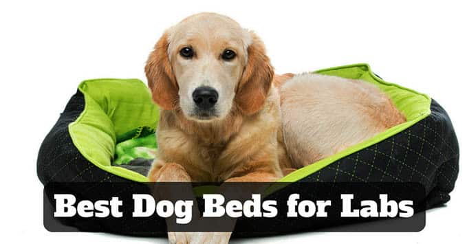 best-dog-beds-for-labs-1