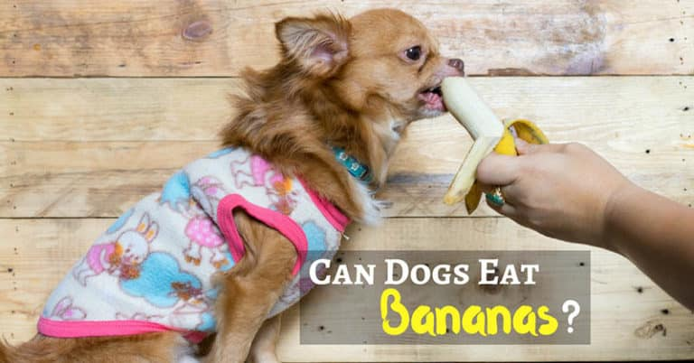 can-dogs-eat-bananas-2