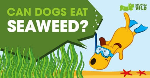 can-dogs-eat-seaweed-1