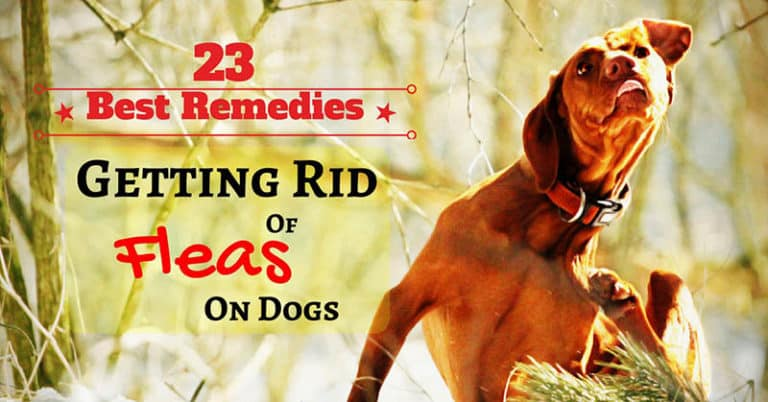 getting-rid-of-fleas-on-dogs-1