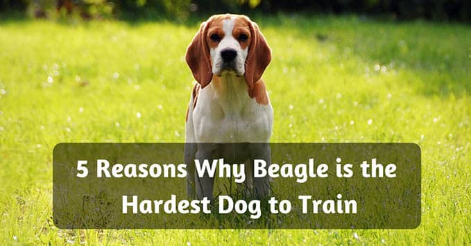 hardest-dog-to-train-1