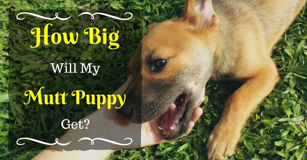 how-big-will-my-mutt-puppy-get-5