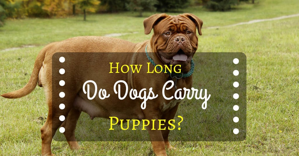 how-long-dogs-carry-puppies-1