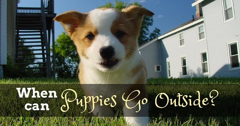when-can-puppies-go-outside-12jpg
