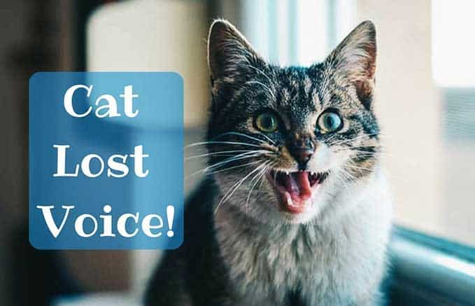 Cat-Lost-Voice-1