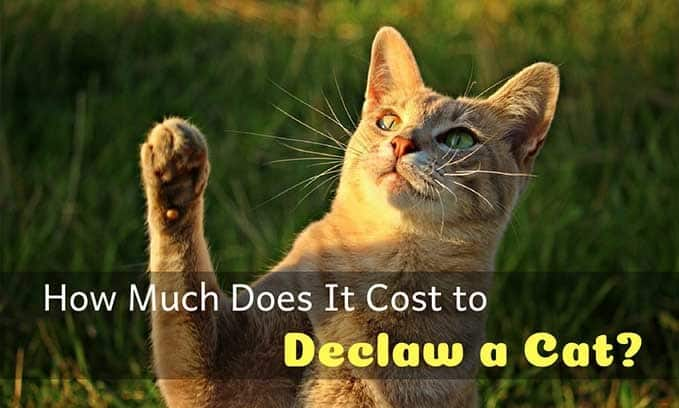 How-Much-Does-It-Cost-to-declaw-a-cat-1