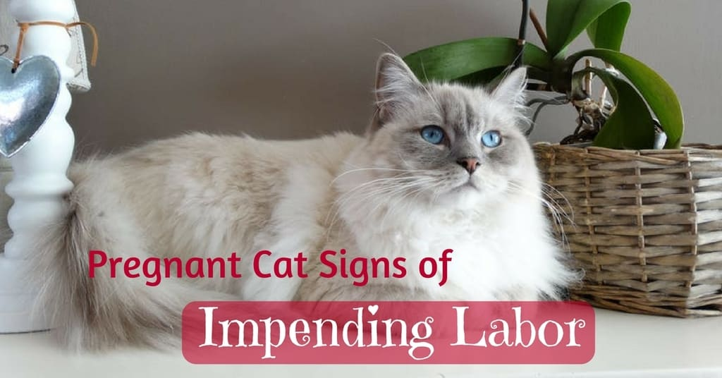 Pregnant-Cat-Signs-of-impending-labor