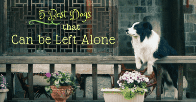 best-dogs-that-can-be-left-alone-2