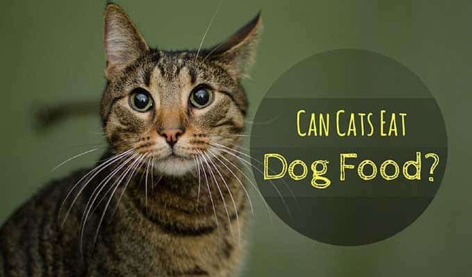 can-cats-eat-dog-food-1