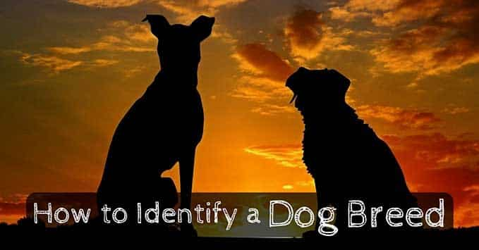 how-to-identify-dog-breed-8