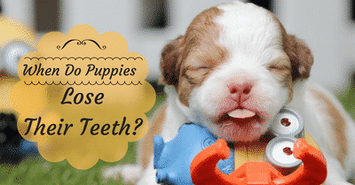 when-do-puppies-lose-their-teeth-2