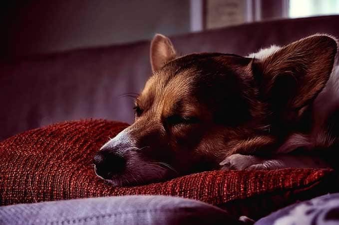 How-To-Put Dog-To-Sleep-Home-Remedies-1
