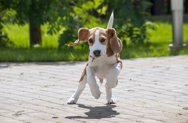 beagle-the-hardest-dog-to-train (2)