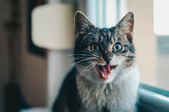 cat-lost-voice-1