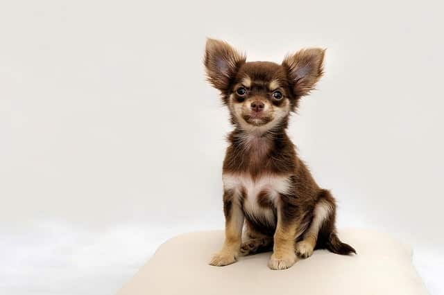 chihuahua-can-be-left-at-home-again
