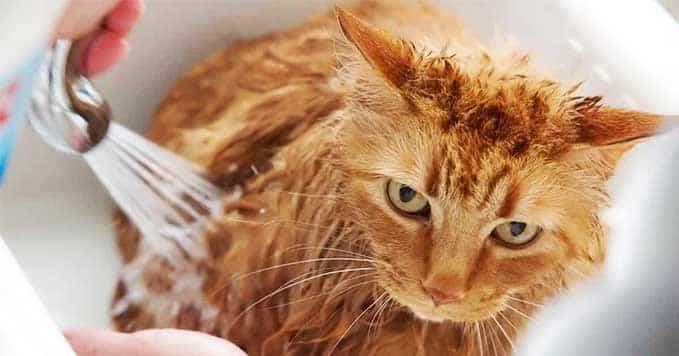do-cats-need-bath-2
