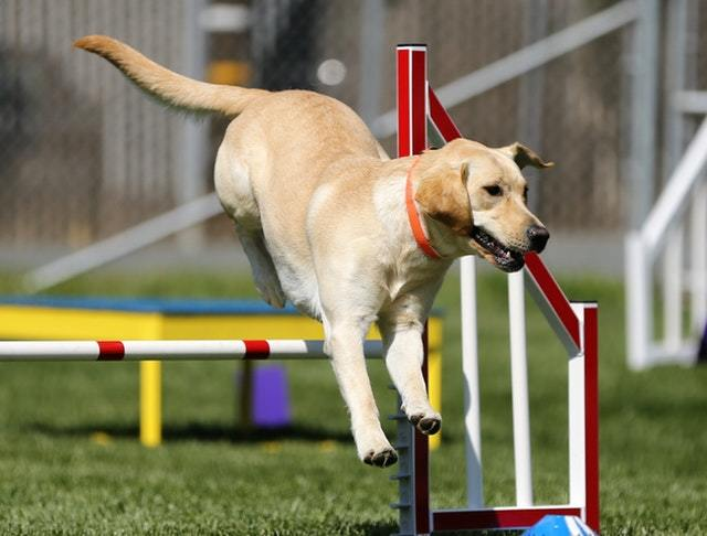 dog-agility-course