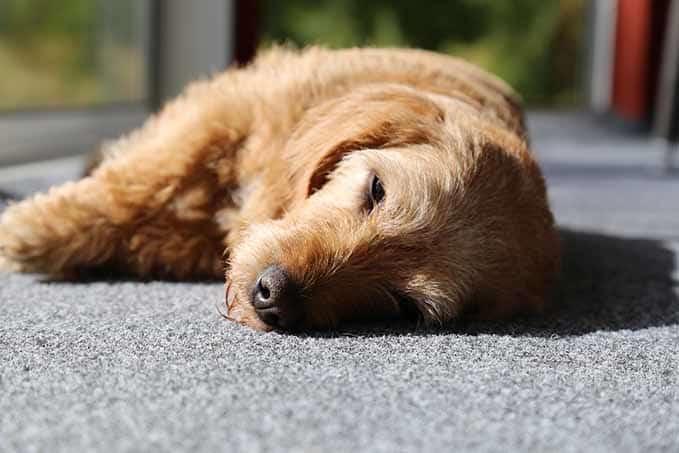 dog-sleeps-with-eyes-open-3