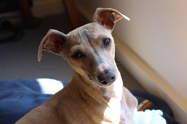 greyhound-dog-can-be-left-at-home-alone