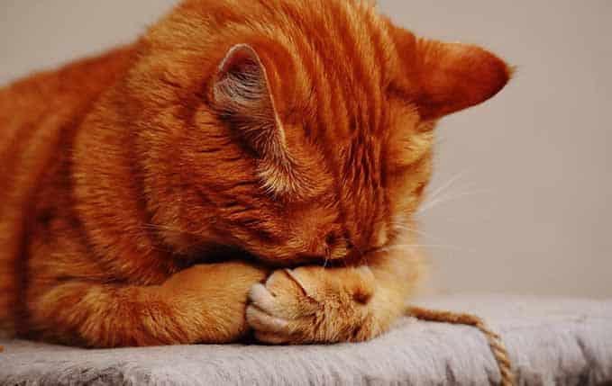 how-long-do-tabby-cats-live-2