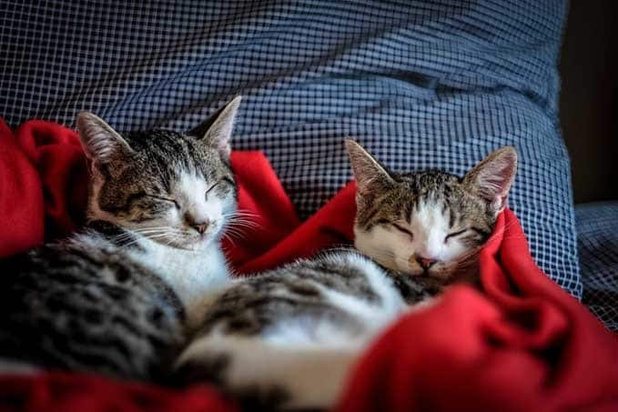 how-long-do-tabby-cats-live-3