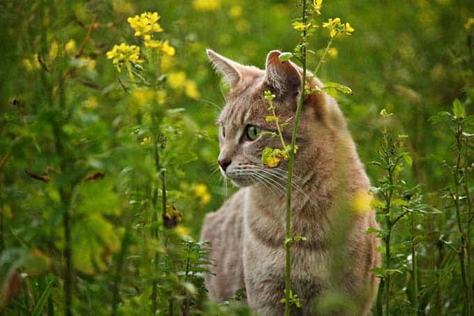 how-long-do-tabby-cats-live-4