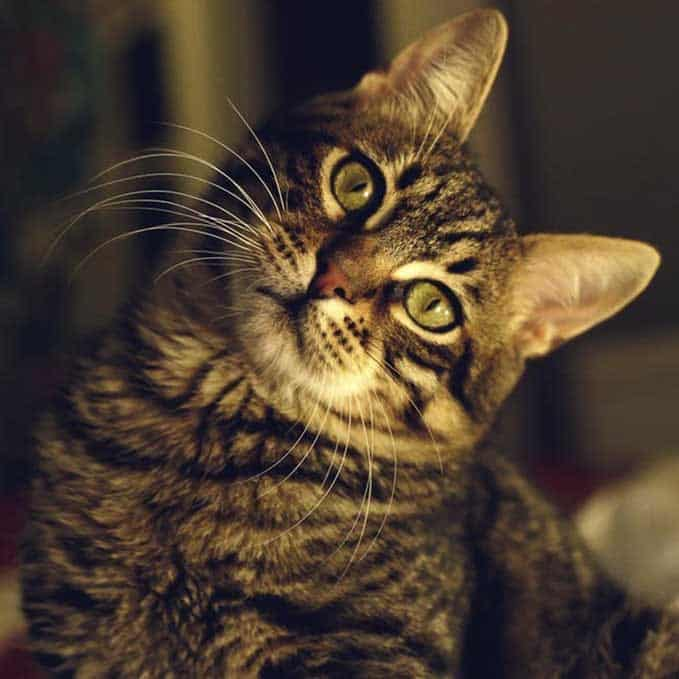 how-long-do-tabby-cats-live-5