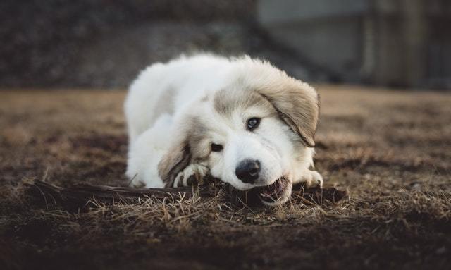 when-do-puppies-lose-teeth (3)
