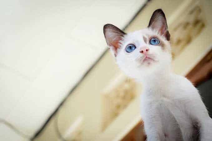 when-does-a-kitten-become-a cat-4
